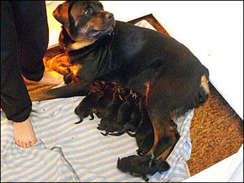 Wittenhaus Kennels Rottweiler Breeders In West Milford Nj